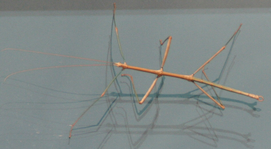 Phasmida - Walking Stick Bug